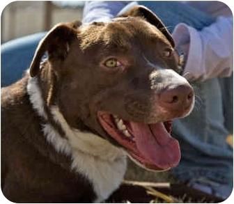 Labrador Retriever/American Pit Bull Terrier Mix Puppy for adoption in All of Colorado, Colorado - Jake