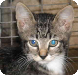 Domestic Shorthair Cat for adoption in Varnville, South Carolina - Davey