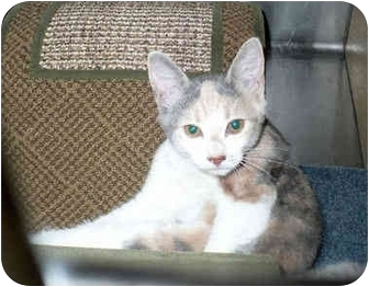 Calico Kitten for adoption in Colmar, Pennsylvania - Cinnamon
