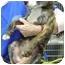 Photo 3 - Pit Bull Terrier Mix Puppy for adoption in Kansas City, Missouri - Courtesy List-Lola