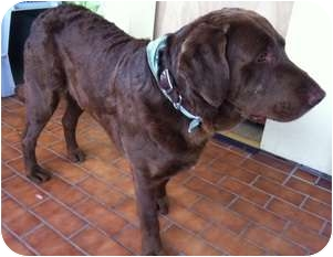 Chesapeake Bay Retriever/Labrador Retriever Mix Dog for adoption in Wasilla, Alaska - Lucky