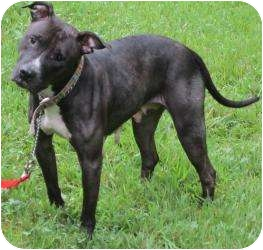 American Pit Bull Terrier/Labrador Retriever Mix Dog for adoption in Bloomfield, Connecticut - Lilith Crane