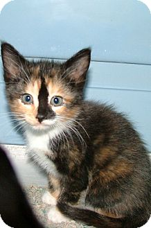 Domestic Shorthair Kitten for adoption in Chattanooga, Tennessee - Jilly