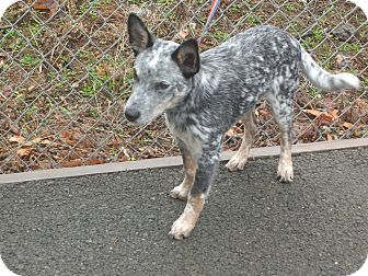 Cattle Dog Mix Puppy for adoption in Kelseyville, California - Rowdy