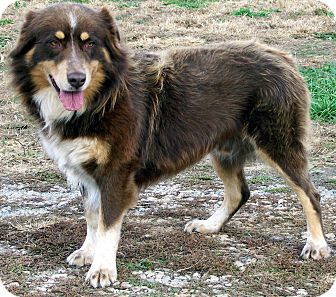 Australian Shepherd Mix Dog for adoption in Salem, New Hampshire - RUDY