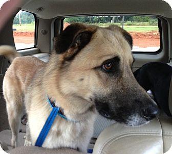 Shepherd (Unknown Type)/Labrador Retriever Mix Dog for adoption in Nashville, Tennessee - Klaus