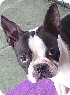 Boston Terrier Dog for adoption in Glastonbury, Connecticut - LUCY