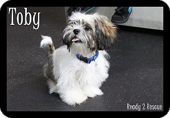 Shih Tzu Puppy for adoption in Rockwall, Texas - Toby