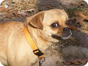 Pug/Chihuahua Mix Dog for adoption in Toledo, Ohio - Daisy