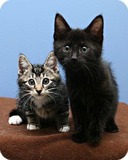 Domestic Shorthair Kitten for adoption in Bellingham, Washington - Fritz