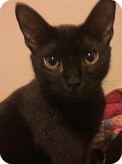 Domestic Shorthair Cat for adoption in Huntsville, Alabama - Batman