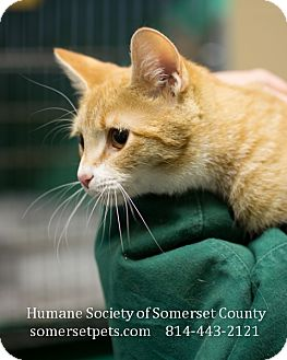 Domestic Shorthair Cat for adoption in Somerset, Pennsylvania - Spry
