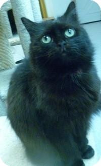 Domestic Longhair Cat for adoption in Hamburg, New York - Lou Lou
