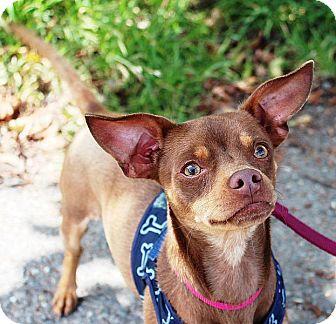 Chihuahua Dog for adoption in Berkeley, California - Squigley