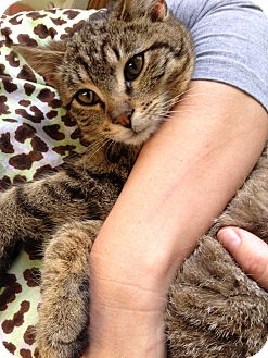 Abyssinian Kitten for adoption in Warwick, Rhode Island - Melvin