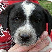 Adopt A Pet :: Bambi - Harrison, AR