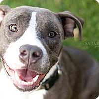 Adopt A Pet :: Madonna - Reisterstown, MD