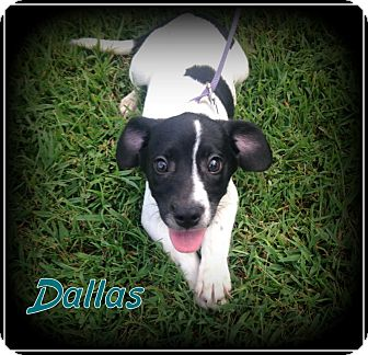 Border Collie/Terrier (Unknown Type, Small) Mix Puppy for adoption in Denver, North Carolina - Dallas