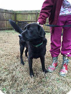 Labrador Retriever Mix Dog for adoption in Manhasset, New York - Casaba