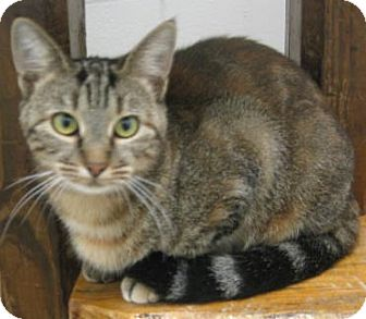 Domestic Shorthair Cat for adoption in Huntsville, Alabama - Molly
