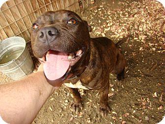 Pit Bull Terrier Mix Dog for adoption in Henderson, North Carolina - Luna