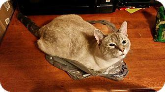 Siamese Cat for adoption in Fairborn, Ohio - Mittens