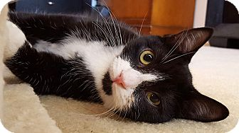 Domestic Shorthair Kitten for adoption in San Diego, California - Luca