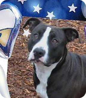 American Pit Bull Terrier Mix Dog for adoption in Red Bluff, California - VENUS-Low Fees/Spayed