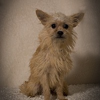Terrier (Unknown Type, Small)/Yorkie, Yorkshire Terrier Mix Dog for adoption in Davie, Florida - Wells