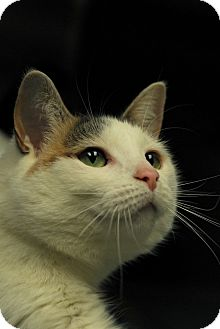 Domestic Shorthair Cat for adoption in Everett, Ontario - KC