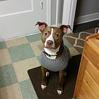 Pit Bull Terrier Mix Dog for adoption in Waterbury, Connecticut - Tyson - Courtesy Post