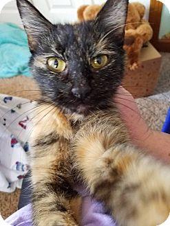Domestic Shorthair Cat for adoption in Huntley, Illinois - Raksha