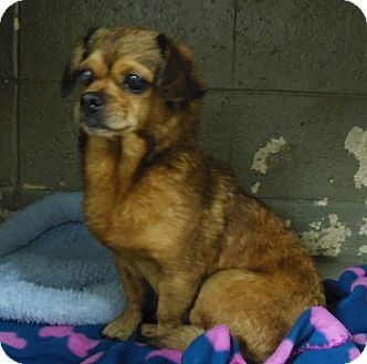 Chihuahua Mix Dog for adoption in Henderson, North Carolina - Darla  *possible blind/deaf*