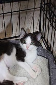 Domestic Shorthair Kitten for adoption in Louisville, Kentucky - Bernice