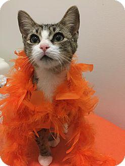 Domestic Shorthair Cat for adoption in Burlington, North Carolina - LIBERTY