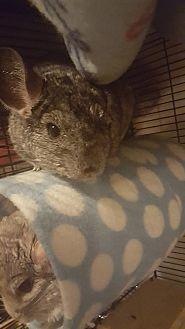 Chinchilla for adoption in Lindenhurst, New York - Sage