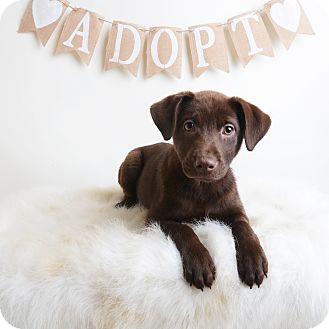 Mixed Breed (Medium)/Labrador Retriever Mix Puppy for adoption in Wilmington, Delaware - Stella