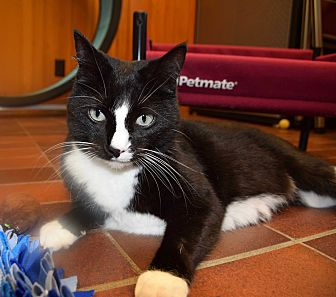 Domestic Shorthair Cat for adoption in Des Moines, Iowa - Frieda