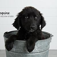 Adopt A Pet :: Linguine - Denver, CO