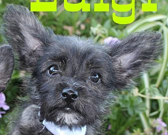 Poodle (Miniature)/Cairn Terrier Mix Puppy for adoption in Oakley, California - Baby Luigi