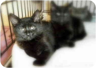 Domestic Shorthair Kitten for adoption in Byron Center, Michigan - Echo