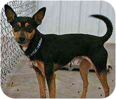 Miniature Pinscher Dog for adoption in Florissant, Missouri - Turbo