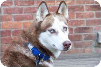 Husky Dog for adoption in Belleville, Michigan - Juno