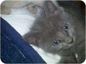 Russian Blue Kitten for adoption in Jacksonville, Florida - Blue Bell