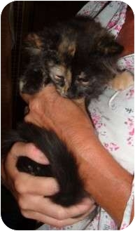 Domestic Longhair Kitten for adoption in Troy, Ohio - Carlita