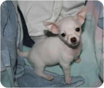 Chihuahua Mix Puppy for adoption in Saskatoon, Saskatchewan - Cody