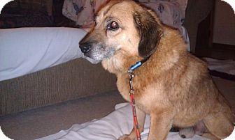 German Shepherd Dog/Beagle Mix Dog for adoption in Youngwood, Pennsylvania - Marcus