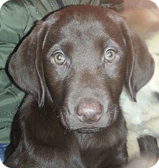 Labrador Retriever Puppy for adoption in Chicago, Illinois - male Choc. Lab pups!