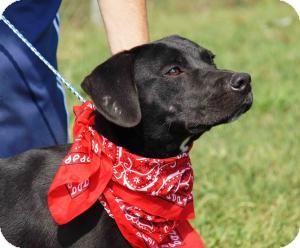 Labrador Retriever Mix Dog for adoption in Alpharetta, Georgia - Porter