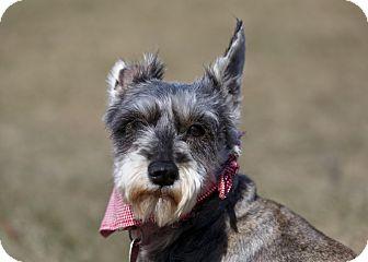 Schnauzer (Miniature) Dog for adoption in Ile-Perrot, Quebec - Paloma